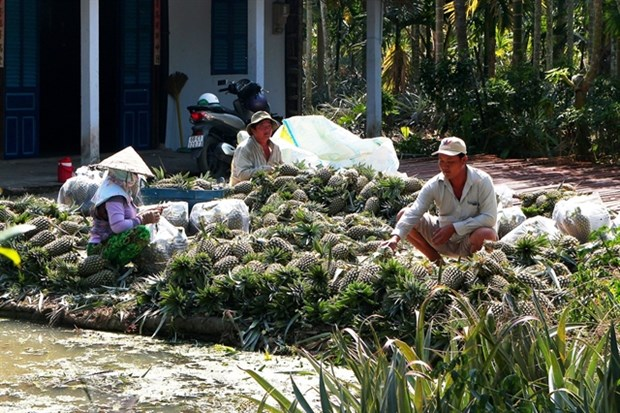 Farmers earn high incomes from VietGAP pineapples hinh anh 1