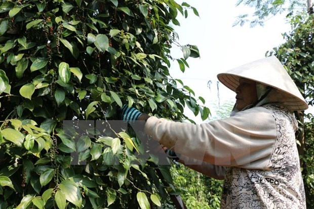 Pepper price to remain low this year hinh anh 1