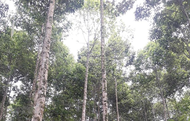 Quang Tri to plant 60,000ha of forests by 2030 hinh anh 1
