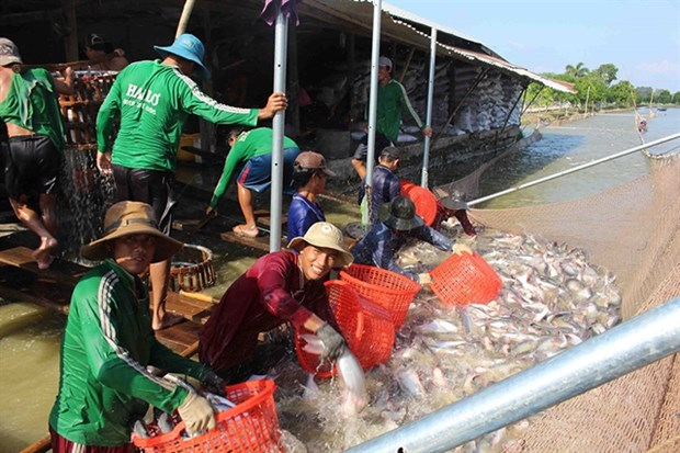 Tra fish exports likely to recover this year hinh anh 1