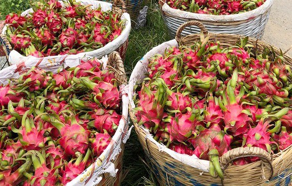 Long An exports 50 tonnes of dragon fruit by sea a day hinh anh 1