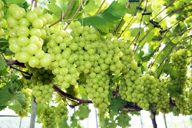 Vietnam becomes largest grape importer of RoK hinh anh 1