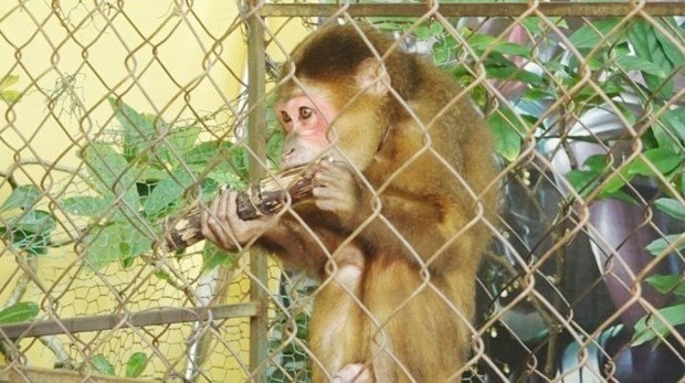 Quang Binh's resident hands over rare monkey to national park hinh anh 1