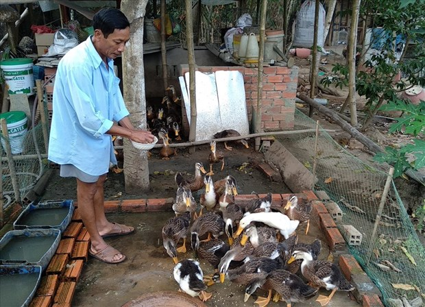 Tra Vinh: nearly 1,000 A/H5N1-infected poultry culled hinh anh 1