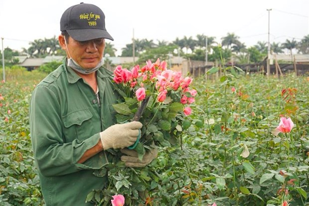 COVID-19 brings losses to flower growers hinh anh 1