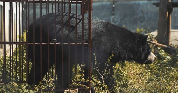 New short film released to call for end to bear farming hinh anh 1