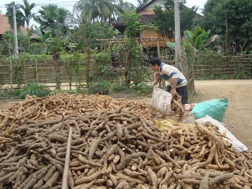 Vietnam sees cassava export reduction in two months hinh anh 1