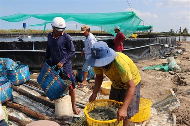 Kien Giang to expand industrial shrimp farming hinh anh 1