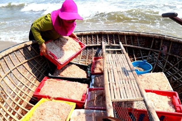 Quang Nam fishermen enjoy bumper shrimp season hinh anh 1