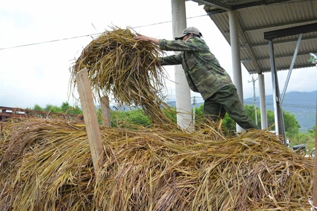Farmers switch to lemongrass cultivation hinh anh 1