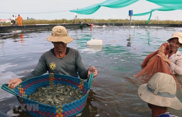 Mekong Delta shrimp prices fall as COVID-19 hits demand hinh anh 1
