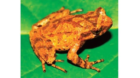 New species of toad discovered in Cao Bang hinh anh 1