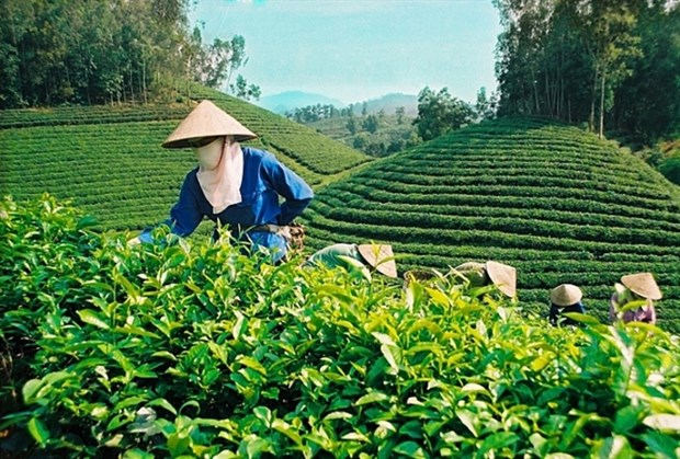 Tea exports fall in Q1 due to COVID-19 hinh anh 1