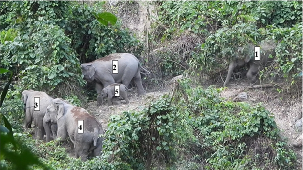 Herd of endangered elephants found in Quang Nam hinh anh 1