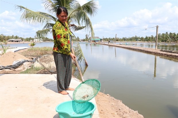 Ben Tre province giant river prawn farms hit by saltwater intrusion hinh anh 1