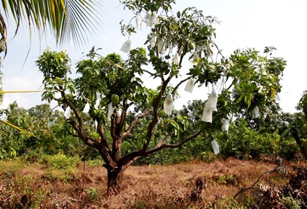 VietGAP mango fetches high incomes for farmers in Kien Giang hinh anh 1