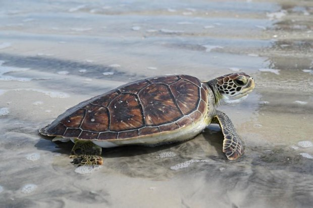 Largest ever number of nests of rare sea turtles found in Thailand hinh anh 1