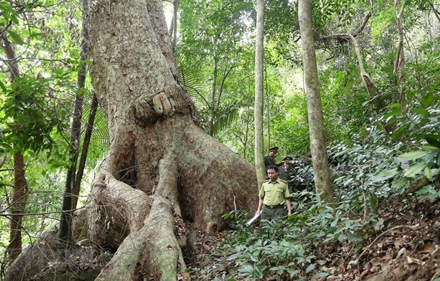 Vietnam boasts 14.6 million ha of forest in 2019 hinh anh 1