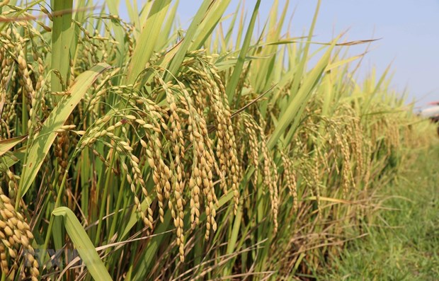 PM allows rice export resumption from May 1 hinh anh 1