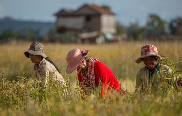 Cambodia's rice exports surge in first four months hinh anh 1