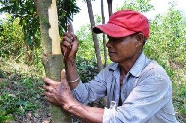 Tra Bong district cinnamon farmers happy with bumper crop hinh anh 1
