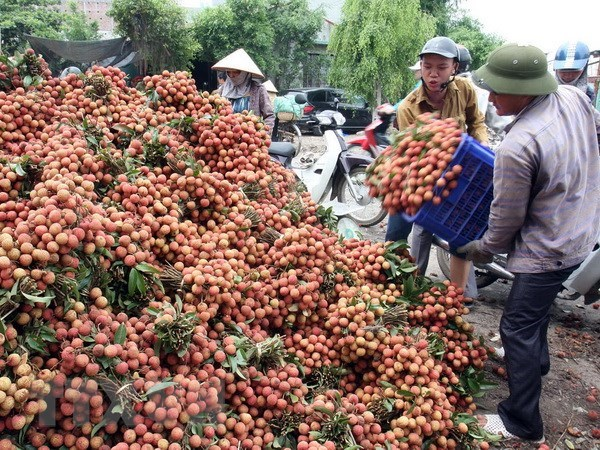 Vietnam proposes solutions to Japan for export of lychee hinh anh 1