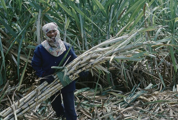 Thailand: Sugar makers warn of output cut due to drought hinh anh 1