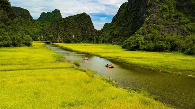 Yellow floating rice fields await tourists this week hinh anh 1