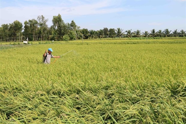 Tra Vinh farmers expand organic rice areas hinh anh 1