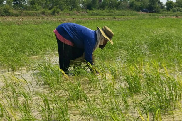 Thailand expects to harvest 24mn tonnes of rice in 2020 hinh anh 1