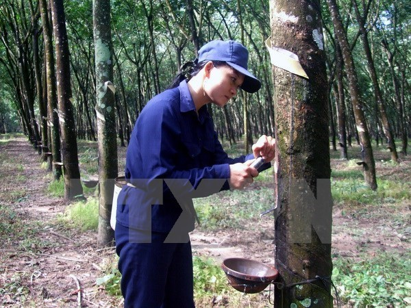 Rubber plantations converted into industrial land hinh anh 1