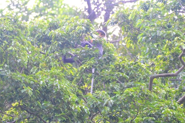 Two families of endangered langurs found in Quang Nam hinh anh 1