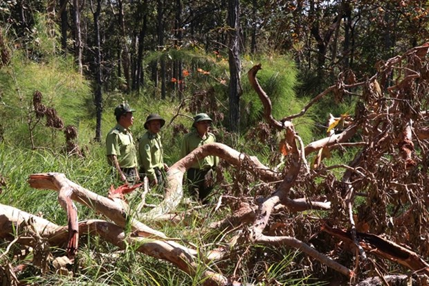 Deforestation continues to rage in Vietnam hinh anh 1
