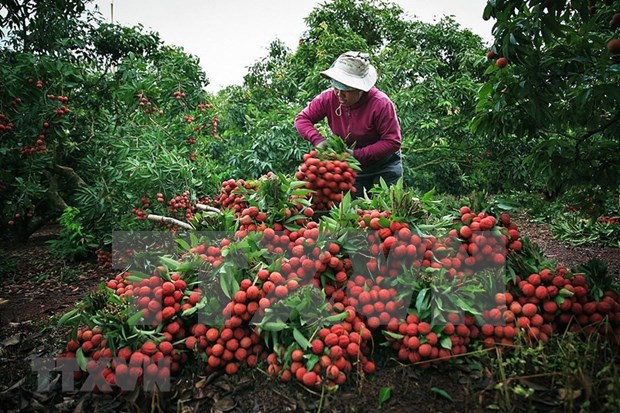 Bac Giang plans promotional events to boost lychee exports hinh anh 2