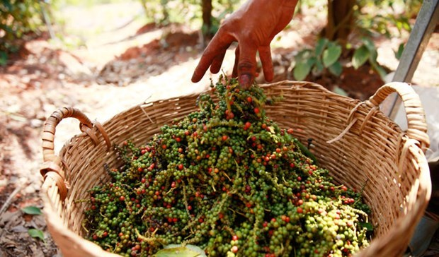 Pepper price hike in Cambodia attributed to high demand from Vietnam hinh anh 1