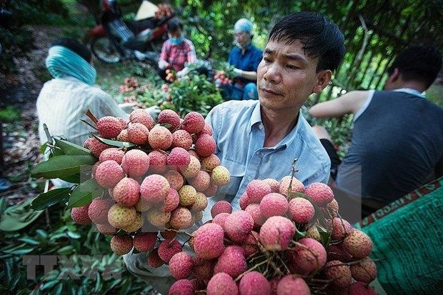 Over 50 businesses, cooperatives join sales of Bac Giang lychee hinh anh 1
