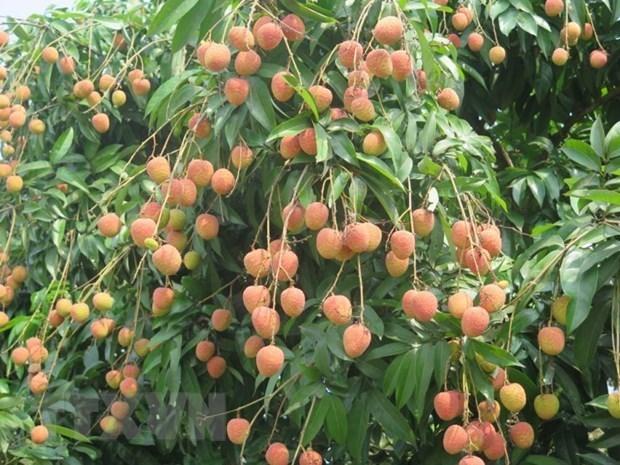 "Nine tonnes of ""U Hong"" lychee to hit shelves in Australia hinh anh 1"