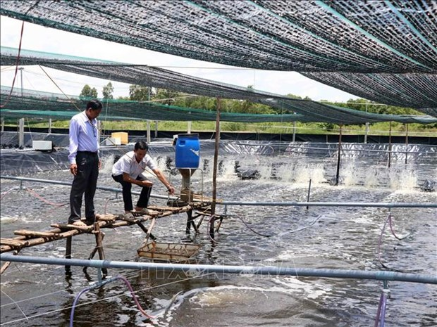 Shrimp sector in Ca Mau province bounces back hinh anh 1