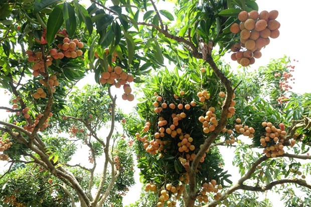 """""""Thieu lychee kingdom"""" looks to conquer demanding markets hinh anh 3"""