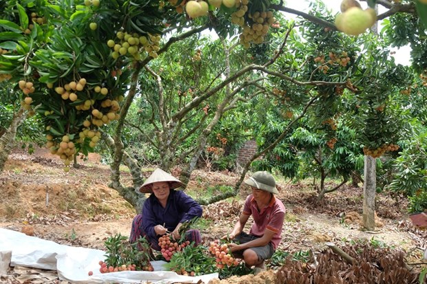 """""""Thieu lychee kingdom"""" looks to conquer demanding markets hinh anh 2"""
