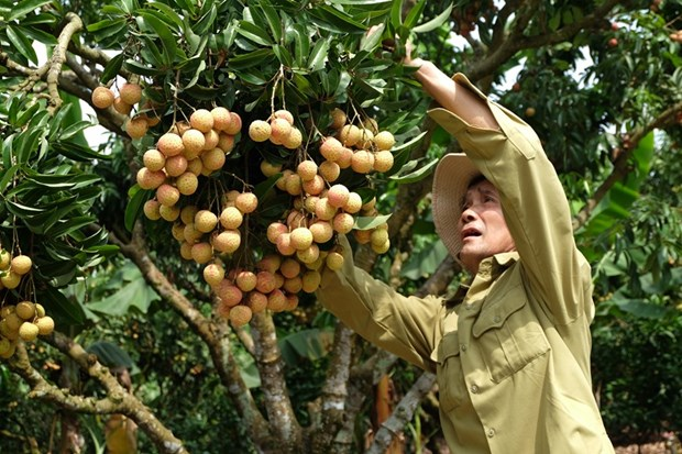 """""""Thieu lychee kingdom"""" looks to conquer demanding markets hinh anh 1"""