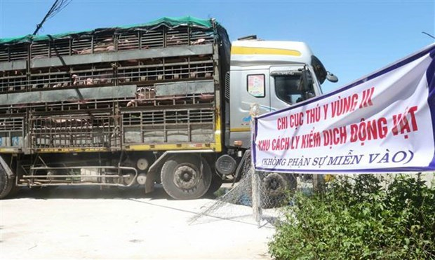 First 500 live pigs imported from Thailand arrive hinh anh 1