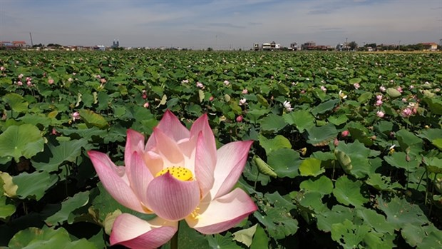 Unfertilised soil used to grow lotus hinh anh 1