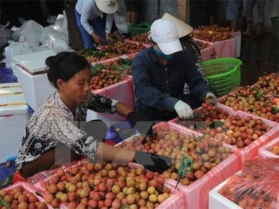 Fruit exports via Lao Cai border gate rising hinh anh 1