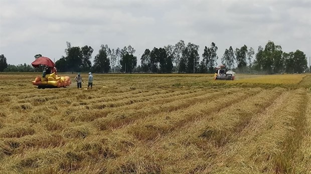 Bac Lieu expands cultivation of world's best rice varieties hinh anh 1