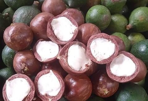 Kon Tum eyes sustainable development of macadamia farming hinh anh 1