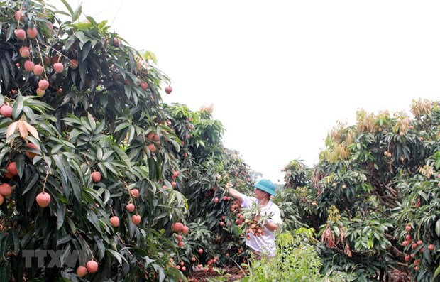 Bac Giang earns 300 million USD from lychee this year hinh anh 1