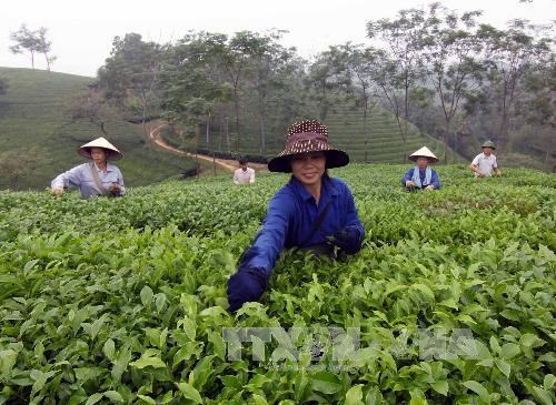 Phu Tho striving to make tea a key agricultural staple hinh anh 1