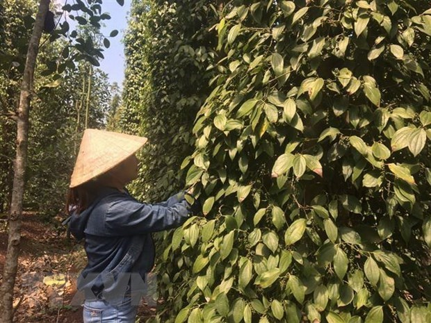 Pepper export turnover hits 385 million USD by mid-July hinh anh 1