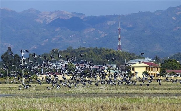 Thousands of Asian openbills forage for food in central Vietnam hinh anh 1